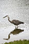 Heron — Foto de Stock