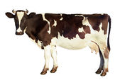 Dairy cow isolated — Stock Photo