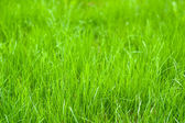 Fresh sprouts of grass — Stock Photo