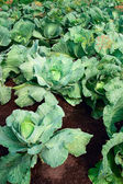 Fields of cabbage — Stock Photo