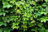 Listoví vitis — Stock fotografie