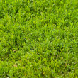 Texture of grass - Stock Photo