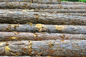 Pine logs cut — Stock Photo