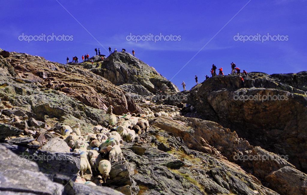 Traditional sheep homecomming procession in Val Senales — Stock Photo #3862555
