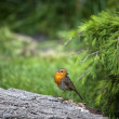 Stock Photo: Robin (Erithacus rubecula)