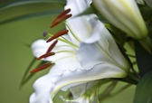 Lily (Lilium) — Stock Photo