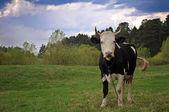 корова — Стоковое фото