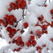 Stock Photo: Berries under snow