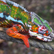 Stock Photo: Chameleon 02