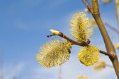 Willow jehnědy — Stock fotografie