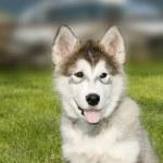 Syberian husky malamute puppy — Stock Photo
