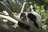 Lemur in the tree — Stock Photo
