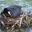 Coot and Chick — Stock Photo #3648016