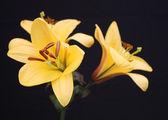 Flor del lirio. — Foto de Stock