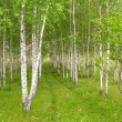 Rows of birch trees with green grass and flowers — Stock Photo #3805101
