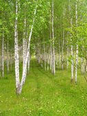 Rows of birch trees with green grass and flowers — Stock Photo