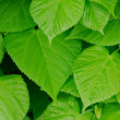 Stock Photo: Beautiful green leaves