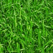 Fertile grass — Stock Photo