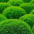 Stock Photo: Garden bush