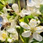 pracovní včela — Stockfoto