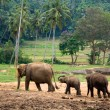 Stock Photo: Asian elephant