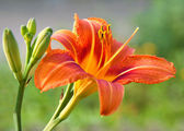 Lily. — Stock Photo