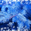 Blue spruce. - Stock Photo