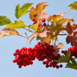 Guelder-rose is red. - Stock Photo