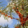 Sea-buckthorn berries. — Stock Photo