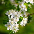 Blooming cherry plum tree — Stock Photo