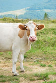 The ridiculous cow, sticking its tongue — Stock Photo