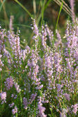 Wildflower - heather blooming — Stock Photo