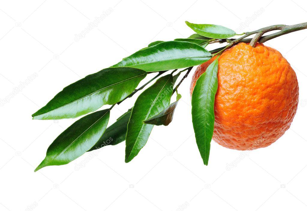 апельсин на ветке рисунок