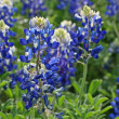 Texas Bluebonnets - Stock Photo