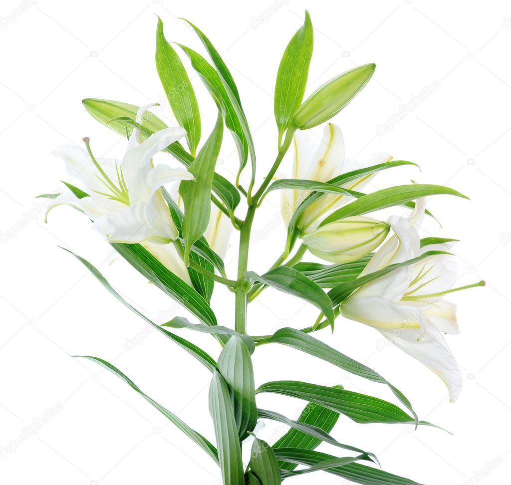 Beautiful white lily flowers. isolated on white background — Stock Photo #4994007
