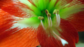 Detail closeup of tulip flower — Stock Photo