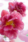 Beautiful pink flower tulip — Stock Photo
