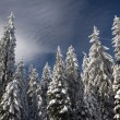 Snowy trees. — Stock Photo
