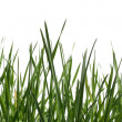 Isolated grass on white background — Stock Photo #3184193
