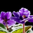 Violet flower against black background (Viola odorata) - Stock Photo