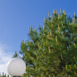 Stock Photo: Conifer tree and flashlight
