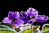Violet flower against black background (Viola odorata) — Stock Photo