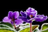 Violet flower against black background (Viola odorata) — Stock Photo