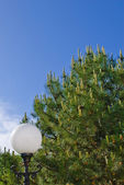 Conifer tree and flashlight — Stock Photo