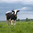 Stock Photo: Cow on meadow