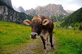Tyrolean cow — Stock Photo