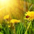 Yellow dandelions in the tall grass - Stock Photo