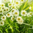 Closeup of daisies in field - Stock Photo