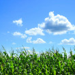 Field of corn in August - Stock Photo