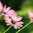 Pink daisies - Stock Photo